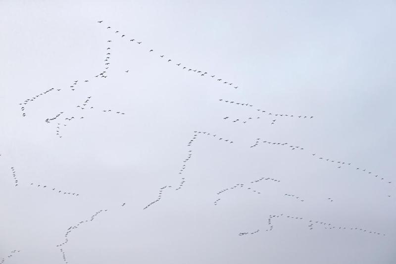 Pink-footed geese in flying formations