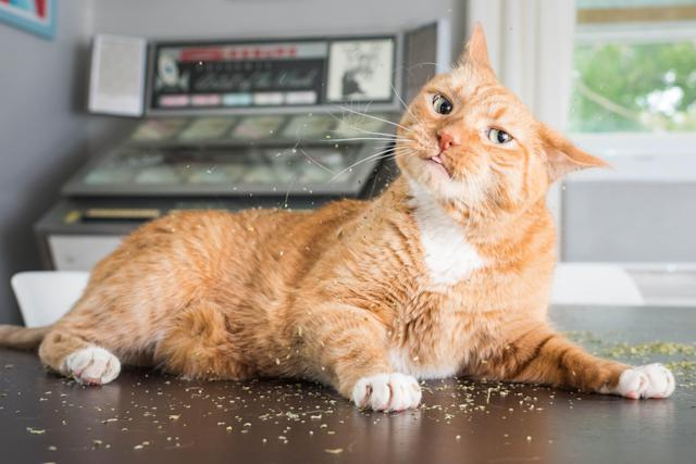 "<p>""Of all the photos I've taken over the years, the catnip photos were the most enjoyable,"" said Marttila. (Photo: Andrew Marttila/Caters News) </p>"