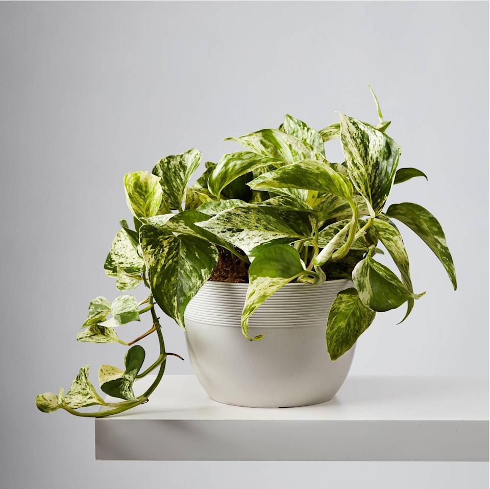 """<h2>Devil's Ivy (Marble Queen Pothos)</h2><br>Certain plants are just a cut above the rest when it comes to turning carbon dioxide into clean and crisp oxygen. Devil's Ivy, <a href=""""https://www.healthline.com/health/air-purifying-plants#:~:text=Golden%20pothos%20(Epipremnum%20aureum),purifiers%20for%20removing%20common%20toxins."""" rel=""""nofollow noopener"""" target=""""_blank"""" data-ylk=""""slk:according to Healthline"""" class=""""link rapid-noclick-resp"""">according to Healthline</a>, specifically eliminates formaldehyde, xylene, toluene, benzene, carbon monoxide, and more contaminants. The biggest selling point, however, is that this plant is practically indestructible — and the more it grows, the more it purifies. <br><br><em>Shop</em> <strong><em><a href=""""http://plants.com"""" rel=""""nofollow noopener"""" target=""""_blank"""" data-ylk=""""slk:Plants.com"""" class=""""link rapid-noclick-resp"""">Plants.com</a></em></strong><br><br><strong>Plants.com</strong> Devil's Ivy (Marble Queen Pothos), $, available at <a href=""""https://go.skimresources.com/?id=30283X879131&url=https%3A%2F%2Fwww.plants.com%2Fp%2Fdevils-ivy-177044"""" rel=""""nofollow noopener"""" target=""""_blank"""" data-ylk=""""slk:Plants.com"""" class=""""link rapid-noclick-resp"""">Plants.com</a>"""