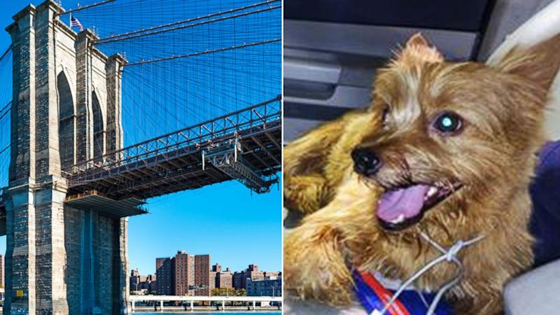 Limo Driver Stops on Brooklyn Bridge to Save Tiny Dog