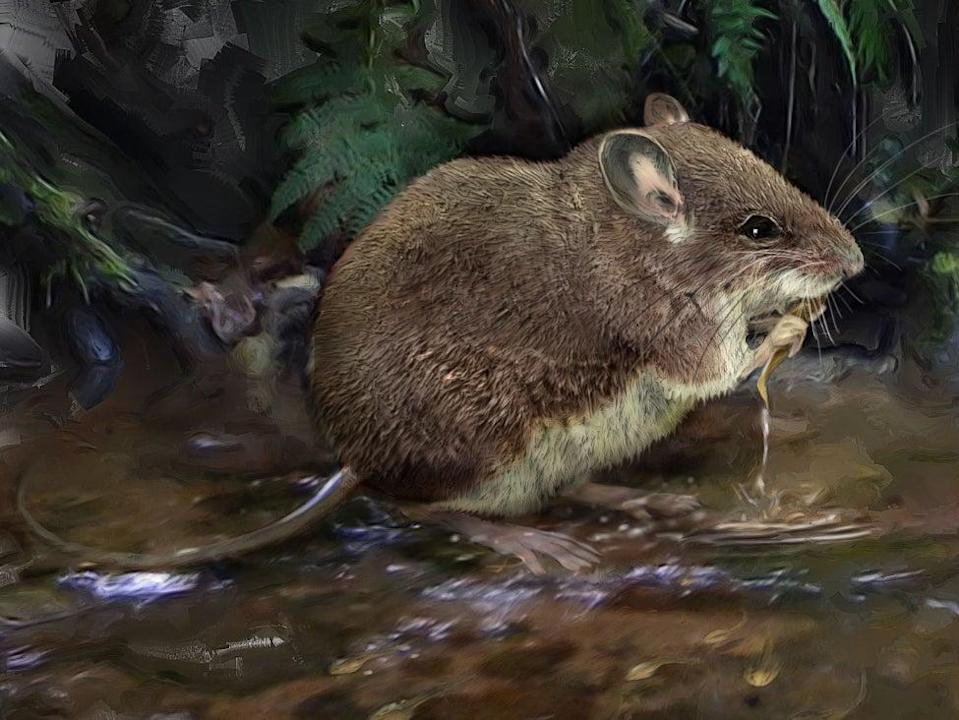 An illustration of one of the newly-described species of stilt mouse, Colomys lumumbai, wading in a stream to hunt (Velizar Simeonovski, Field Museum)