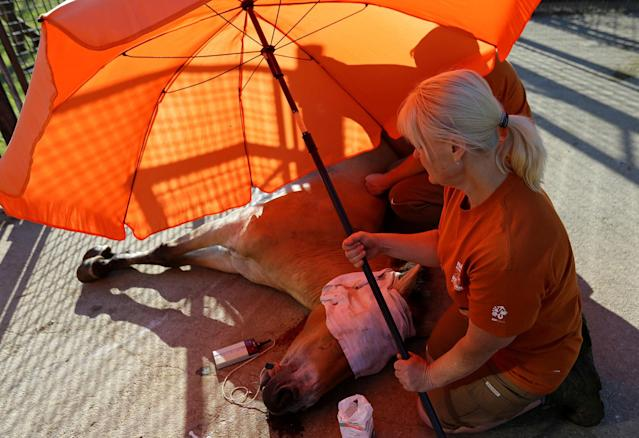 <p>A veterinary doctor covers a tranquilized Przewalski's horse from a sun at the acclimatization enclosure in the village of Dolni Dobrejov near the city of Tabor, Czech Republic, June 18, 2017. (Photo: David W. Cerny/Reuters) </p>