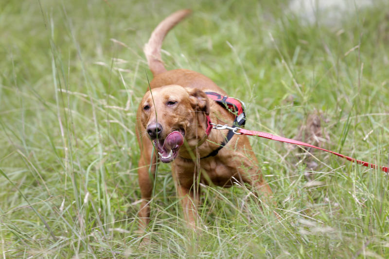 Dia, a Labrador retriever, uses her sense of smell to find Scotch broom, an invasive species, in Harriman State Park in Tuxedo, N.Y., Tuesday, Aug. 6, 2019. The nonprofit New York-New Jersey Trail Conference has trained Dia to find Scotch broom plants in two state parks 50 miles (80 kilometers) north of New York City. The invasive shrub is widespread in the Pacific Northwest but new to New York, and land managers hope to eradicate it before it gets established.  (AP Photo/Seth Wenig)