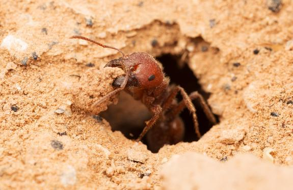 Could this red harvester ant help trap greenhouse gases?