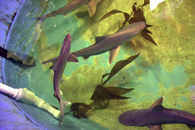 Multiple live sharks move about a basement swimming pool.