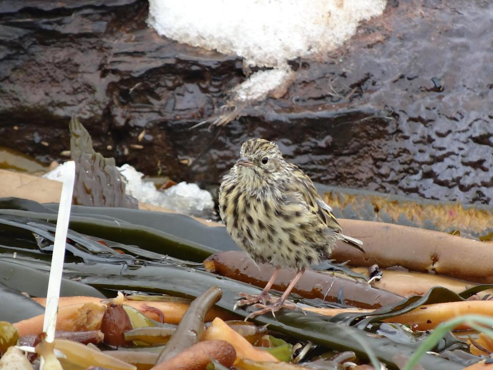 South Georgia pipit is the most southerly songbird in the world (GSGSSI/PA)