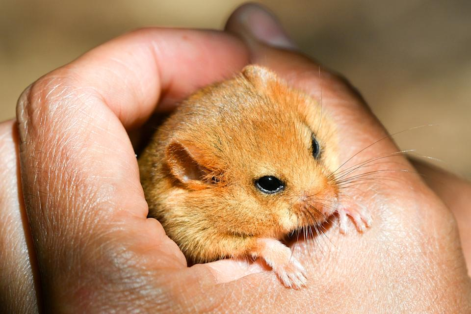 File photo dated 14/6/2018 of a hazel dormouse. A quarter of Britain's native mammal species, including red squirrels, wildcats and beavers, are at risk of extinction, a new assessment warns.