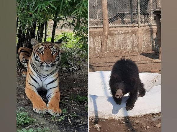 Two female tigresses along with a female sloth bear and a male sloth bear arrived in the Delhi zoo today.