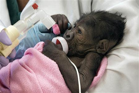A baby gorilla suffering from pneumonia is seen in San Diego, California