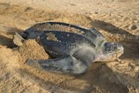 <p><strong>Leatherback Sea Turtle - </strong>This sea turtle faces many dangers from the moment it hatches, from natural predators to human exploitation. In some places, the turtle is virtually extinct because it is hunted for its supposed dietary benefits. </p>