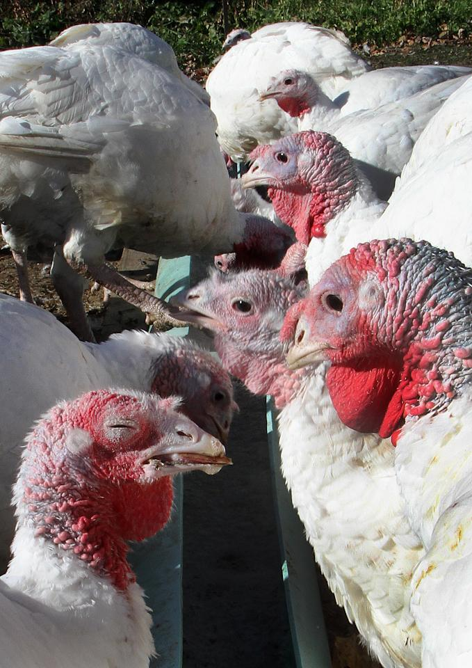 In this photo taken Tuesday, Oct. 29, 2013 turkeys are seen drinking beer from a trough at Joe Morette's farm in Henniker, N.H. Morette is raising about 50 turkeys and gives them beer every day and says it makes the birds fatter and more flavorful. (AP Photo/Jim Cole)