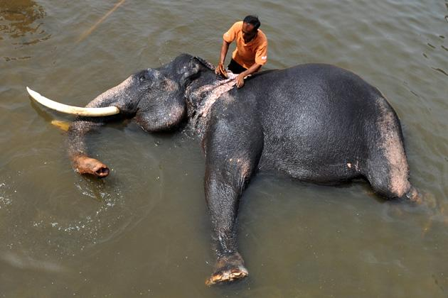 A handler washes an elephant in a river at the Pinnawela Elephant Orphanage in Pinnawela on June 10, 2012. Sri Lanka's main elephant orphanage staged its biggest mass christening June 10 by naming 15 baby elephants born in captivity, an official said. Thirteen babies born last year and the other two in 2010 were given names chosen from among thousands suggested by visitors to the Pinnawala orphanage. AFP PHOTO/Ishara S. KODIKARA