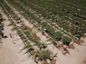 Farmers at this grape farm in drought-stricken Fresno, California use drip irrigation to ration water for their bushes