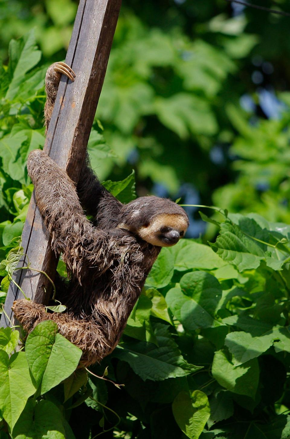 A sloth rests at the banks of the Blommestein Lake, about 100 miles south of Paramaribo, Suriname, on Aug. 14, 2010.
