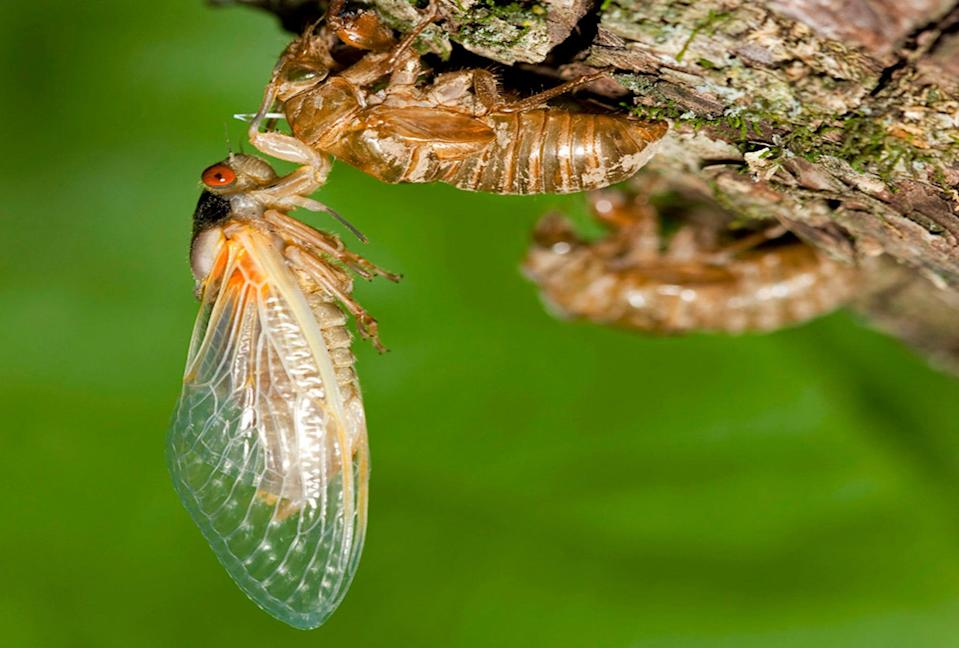 Billions of cicadas are expected to invade several states this spring.