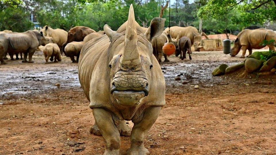Emma, a southern white five-year-old female rhino, stands in front of other rhinos before her travel from Taiwan