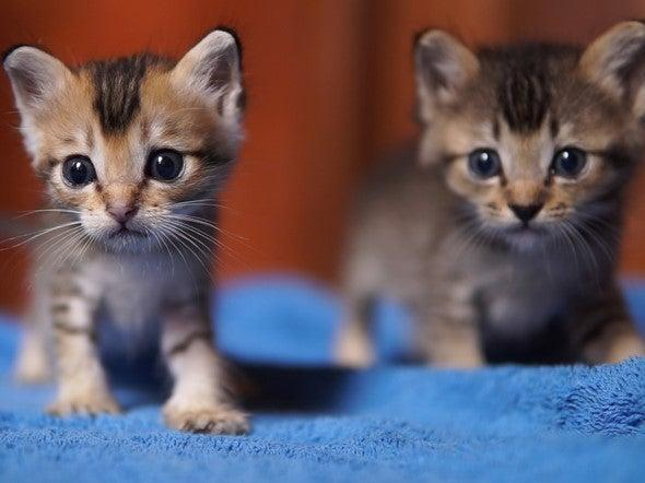 <p>Two six-week-old kittens died after they were thrown out of a moving car in Ripon (file photo)</p> (Getty Images/iStockphoto)