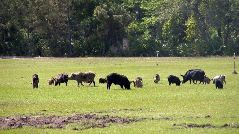 Texas County to Feed Feral Hogs to the Homeless