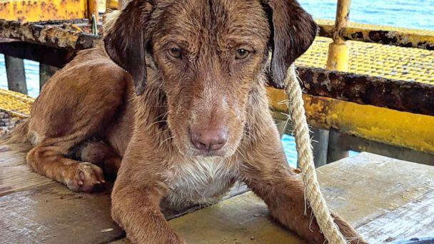 PHOTO:Workers from the Chevron Thailand Exploration and Production Ltd. oil rig rescued a dog swimming 137 miles offshore in the Gulf of Thailand, April 12, 2019. (Vitisak Payalaw)