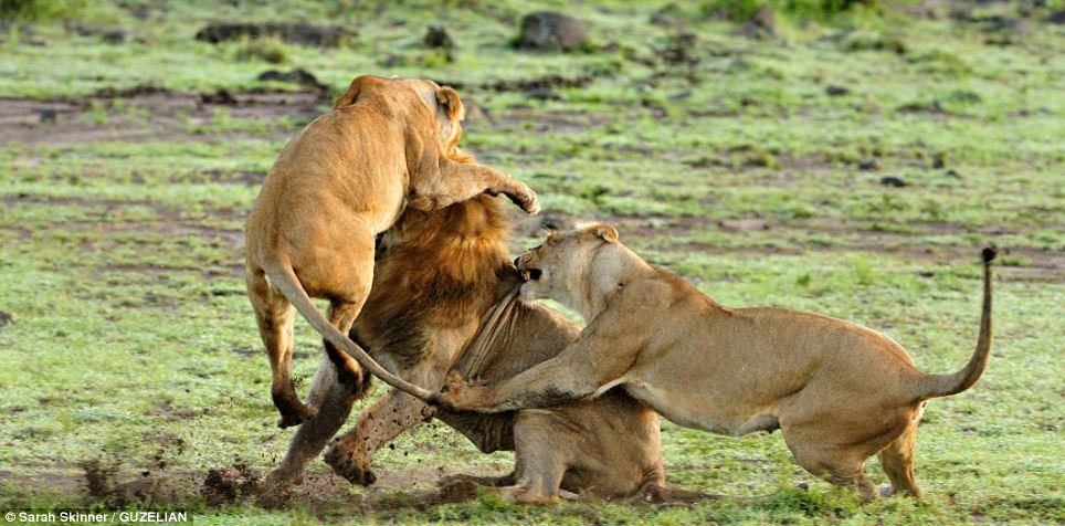 MANDATORY BYLINE - PIC BY ANDREW ATKINSON / FOTOLIBRA / CATERS NEWS - (Pictured a lion and lioness head to head) - These are the rip-roaring scenes of a mass battle between a pride of lions which were snapped by a brave photographer from just TWENTY metres away. The spontaneous brawl in the Serengeti National Park, Tanzania was caught by amateur photographer Andrew Atkinson who captured the early morning combat between the young cats just as the sun came up. The safari truck he was on pulled up as the dominant male strode over to kick-start the turf wars between the big cats who can tip the scales at anywhere up to the 180kg mark. SEE CATERS COPY.