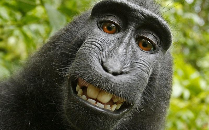 One of the monkey selfies which triggered the court case - Caters News Agency