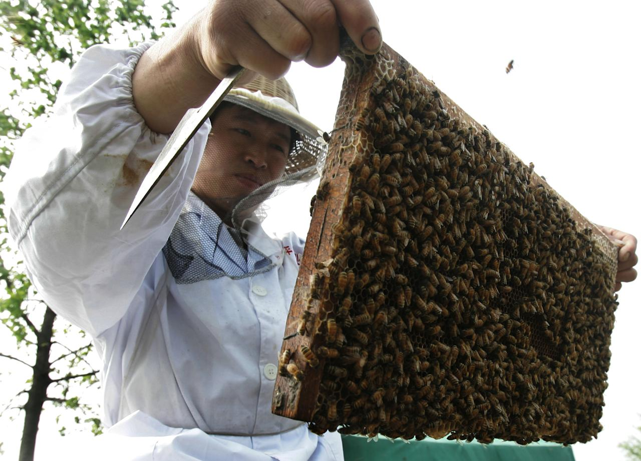 A beekeeper checks a honeycomb at an apiary built in a rape field on April 9, 2008 in suburb of Wuhan of Hubei Province, China. According to reports, the output of China's honey products reduced largely this year due to the recent snow disaster. One third of bees in Zhejiang, Jiangxi, Anhui, Hunan and Hubei provinces were frozen to death during the disaster and the quality of bee colonies also declined. Snowstorms had affected florescence and amount of rape flowers in South China, which also led to the decrease of honey production. (Photo by China Photos/Getty Images)
