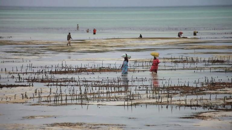 Seaweed farmed on Tanzanian archipelago is one of the Zanzibar's key exports -- for food, cosmetics and medicines in Asia, Europe and North America -- but now the vital industry is struggling with warmer waters killing the crops.