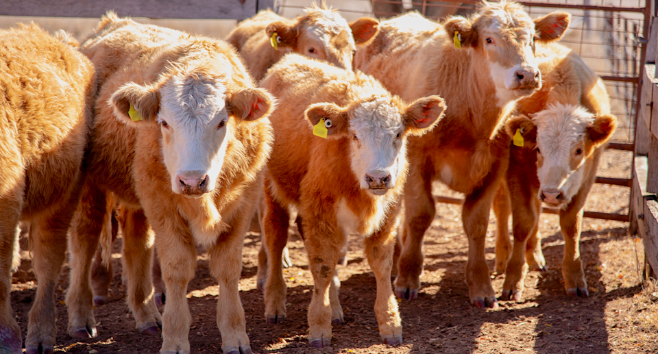Young cattle in a pen.