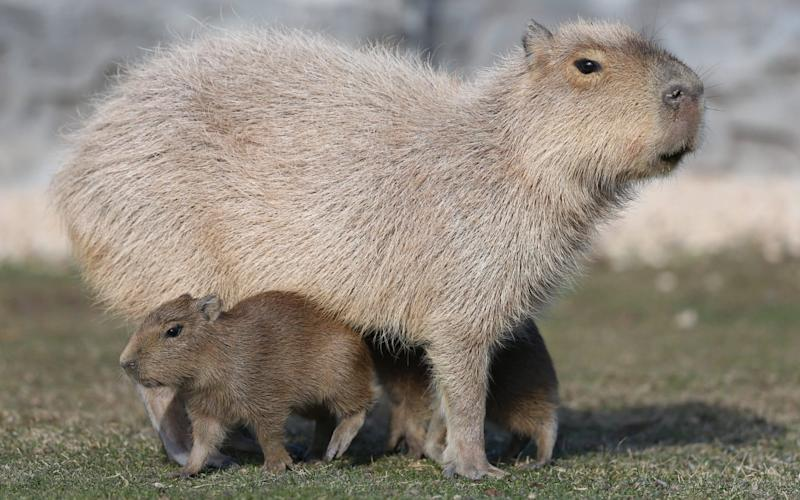 Capybaras are a large South American rodent whose friendly and gentle nature make them very popular with exotic animal collectors - Anadolu