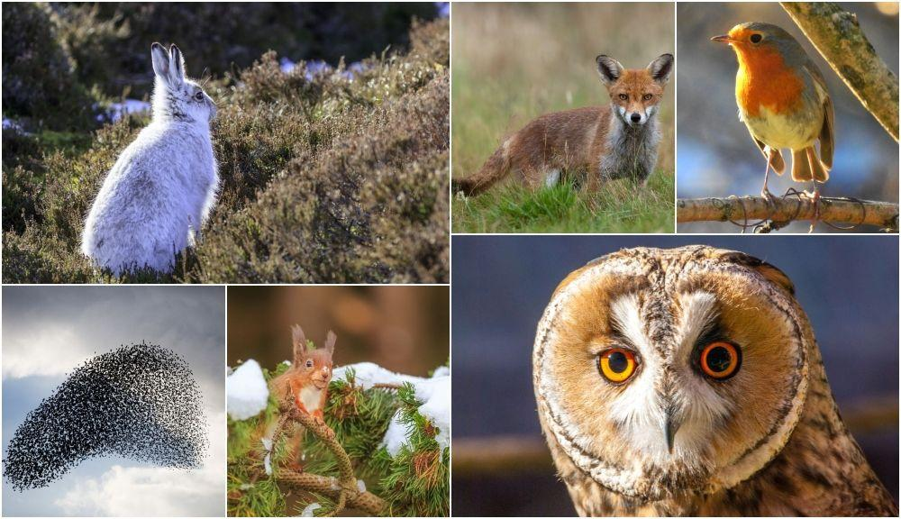 """<p>Winter might be a season synonymous with nature bedding down and <a href=""""https://www.countryliving.com/uk/wildlife/countryside/g23560677/how-make-garden-wildlife-friendly-winter/"""" target=""""_blank"""">hibernating until spring</a>. But, for some British wildlife, the cooler, darker months are actually when they're at their most active. </p><p>That means you're more likely to catch a glimpse of elusive animals like short-eared <a href=""""https://www.countryliving.com/uk/wildlife/a23502829/tawny-owl-decline-britain/"""" target=""""_blank"""">owls</a> hunting, or witness a real winter spectacle as mountain hares shed their coats, starlings murmurate, and <a href=""""https://www.countryliving.com/uk/news/news/a65/should-we-cull-grey-squirrels-to-conserve-reds/"""" target=""""_blank"""">red squirrels</a> venture out in search of food.</p><p>Here, 8 native winter animals to look out for this winter...</p>"""