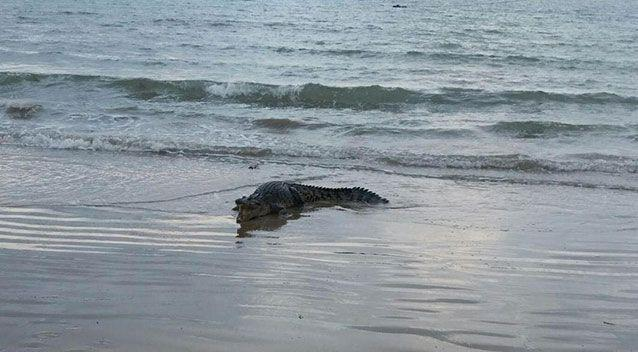 The crocodile was spotted on Kewarra Beach in Cairns. Source: Facebook/ Rach and Geoff Lacey