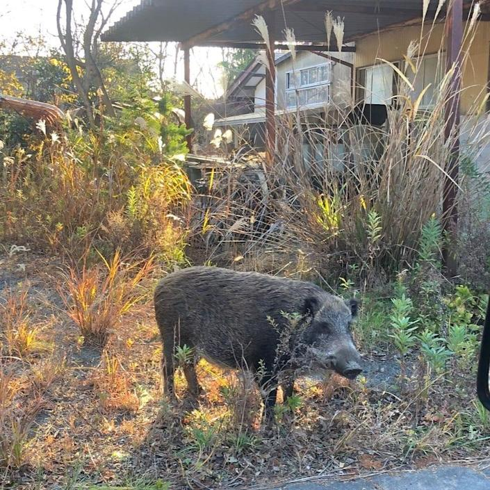 Wild boar from surrounding mountains moved into the areas left abandoned after the 2011 tsunami - D Anderson