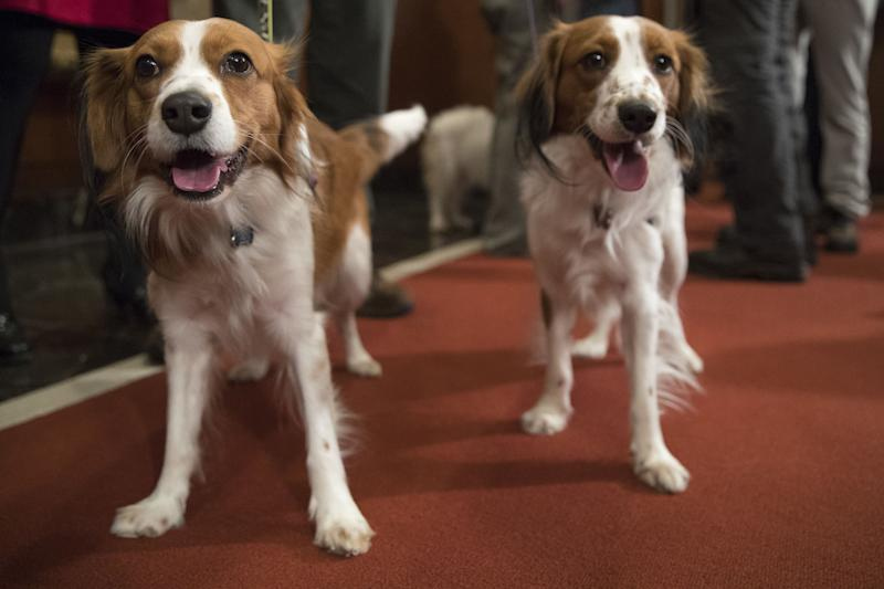 Nederlandse kooikerhondje Escher, right, and Rhett are shown during a news conference at the American Kennel Club headquarters, New York, USA - 10 Jan 2018