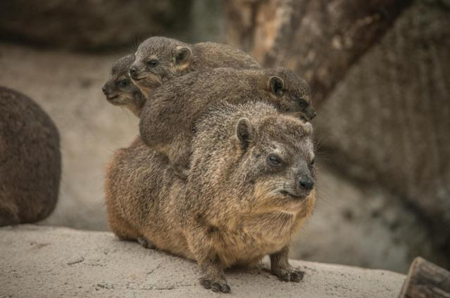 The baby triplets with their mother (Chester Zoo)