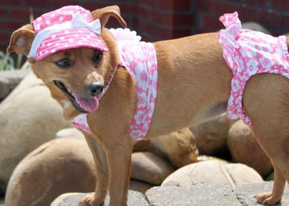 """<div class=""""caption-credit"""">Photo by: Vetstreet.com</div><div class=""""caption-title""""></div>Minnie Mouse, a 1-year-old <a rel=""""nofollow"""" target="""""""" href=""""http://www.vetstreet.com/dogs/miniature-pinscher?WT.mc_id=cc_yahoo"""">Miniature Pinscher</a>, spends some time at the pool in her swimming outfit."""