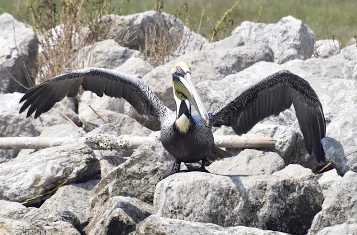 BP Spill Rescued Pelican Returns (Casey Wright)
