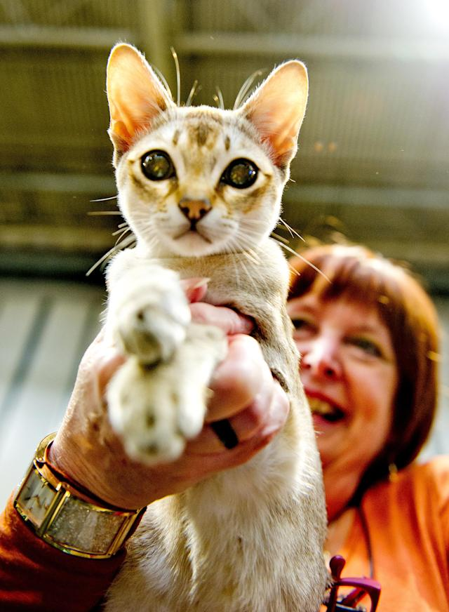 <p>Janamel Java Lava, a Singapura Cat participates in the GCCF Supreme Cat Show at National Exhibition Centre on October 28, 2017 in Birmingham, England. (Photo: Shirlaine Forrest/WireImage) </p>