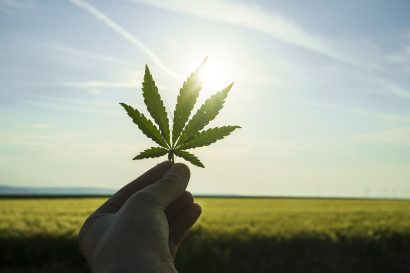 A person holding a marijuana leaf up to the sun
