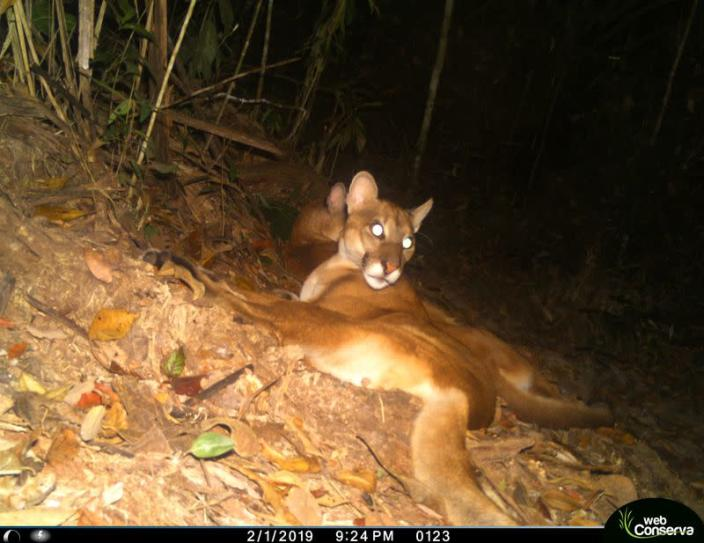 A puma is photographed by a camera trap set up by the WebConserva Foundation in San Lucas