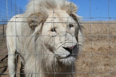 This severely cross-eyed male lion is just one of the 6,000-8,000 lions held captive in South Africa. South Africa is one of the world's biggest exporters of lion products; least 70 metric tonnes were shipped between 2008-2016. The disability is suffered by him and his brothers from intense inbreeding. Credit: Blood Lions
