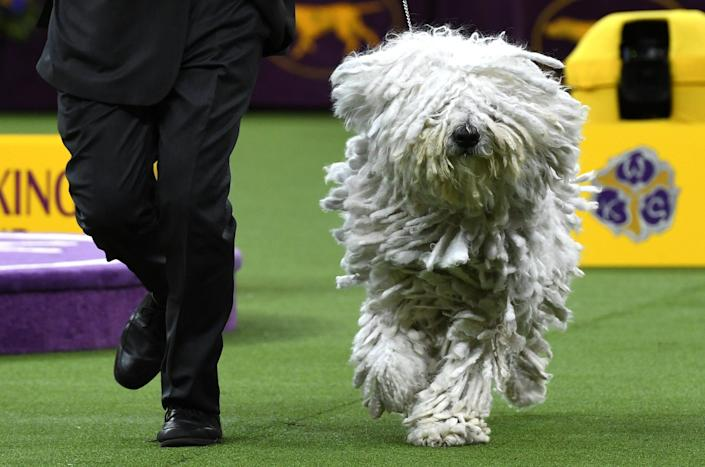"A Komondorok runs with their handler in the Working Group judging before the ""Best in Show"" at the Westminster Kennel Club 143rd Annual Dog Show in Madison Square Garden in New York Feb. 12, 2019. (Photo: Timothy A. Clary/AFP/Getty Images)"