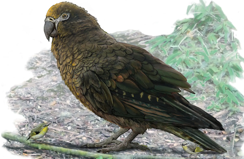 The parrot stood up to three feet tall (Flinders University)