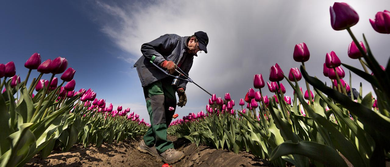 MAGDEBURG, GERMANY - APRIL 22: Dadeusz Szczypkowski selects off color tulips in a blossoming tulip field on April 22, 2012 in Schwaneberg near Magdeburg, Germany. Following the coldest Easter weather in 50 years, temperatures are scheduled to reach over 25 degrees Celsius in eastern Germany by the end of next week as springtime finally takes hold. (Photo by Carsten Koall/Getty Images)