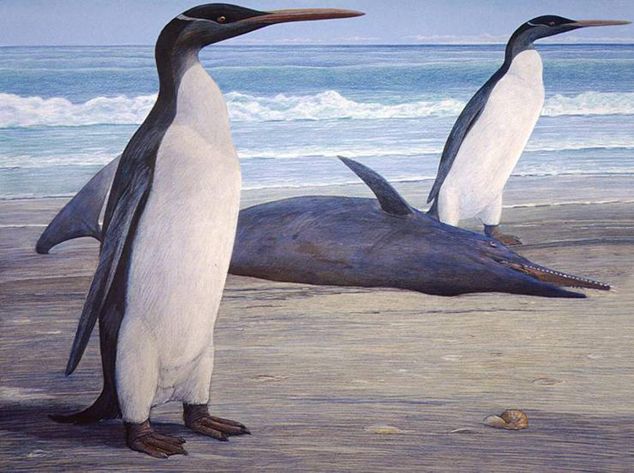 This undated graphic illustration released by University of Otago on Wednesday, Feb. 29, 2012 shows a giant penguin called a Kairuku. It's taken 26 million years, but scientists say getting the first glimpse at what a long-extinct giant penguin looked like was worth the wait. Experts from New Zealand and the United States have reconstructed the fossil skeleton of one of the giant sea birds for the first time, revealing long wings, a slender build and a spearlike bill that have them describing it as one elegant bird. (AP Photo/University of Otago) MANDATORY CREDIT