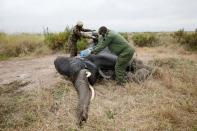 Veterinary staff pour water on a tranquillised elephant to wake up after it was fitted with a transmitter on World Elephant Day, in the Amboseli National Park