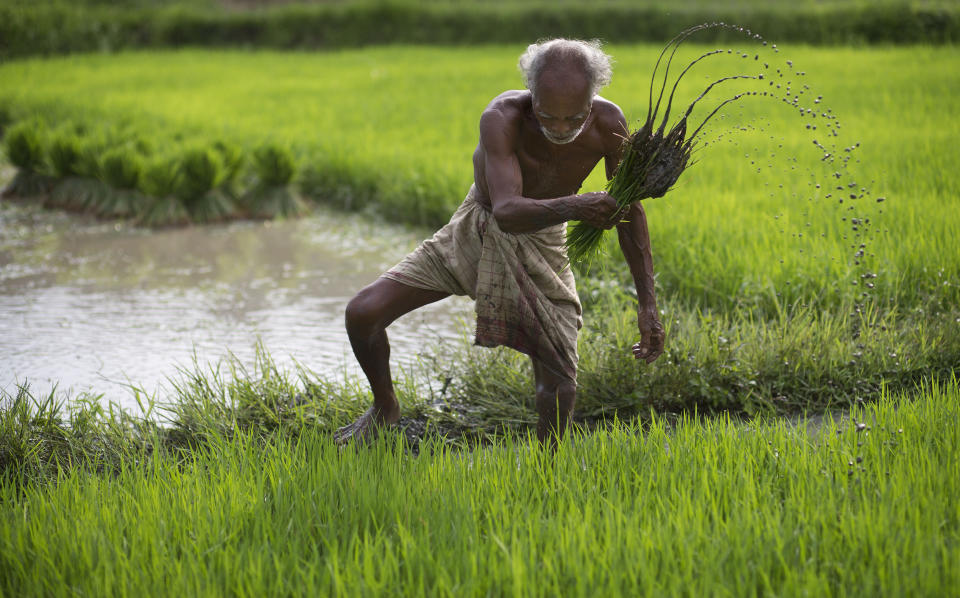 """FILE - In this July 3, 2015 file photo, a farmer works in a rice paddy field at Reba Maheswar village, 56 kilometers (35 miles) east of Gauhati, India. Climate change could push more than 200 million people to move within their own countries in the next three decades and create migration hotspots unless urgent action is taken in the coming years to reduce global emissions and bridge the development gap, a World Bank report has found. The report published on Monday, Sept. 13, 2021 examines how long-term impacts of climate change such as water scarcity, decreasing crop productivity and rising sea levels could lead to millions of what the report describes as """"climate migrants"""" by 2050. (AP Photo/Anupam Nath, File)"""