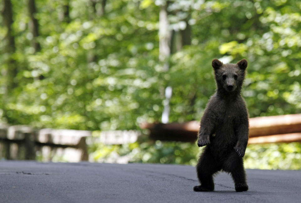A brown bear cub plays on the road in the outskirts of Sinaia, 140 km north of Bucharest, June 15, 2009. Local authorities and members of the Forestry Institute started an operation to capture and relocate about 25 bears after many started to roam in the town in search for food. With half of Europe's brown bears - roughly 6,000 - living in the Carpathians mountains environmentalists and authorities are struggling to keep the wild animals and residents in mountain towns safe from each other. REUTERS/Radu Sigheti   (ROMANIA ENVIRONMENT ANIMALS SOCIETY IMAGES OF THE DAY)