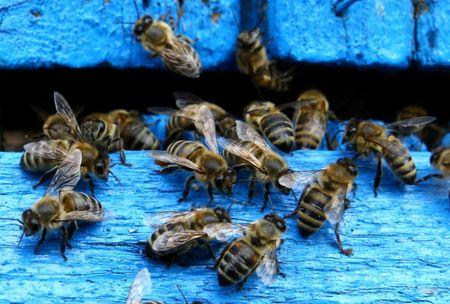 FILE PHOTO: Bees come in and out of a beehive at beekeeper Leonid Baranenko's bee garden in the village of Mikhaylovka, Belarus June 24, 2017. REUTERS/Vasily Fedosenko/File Photo