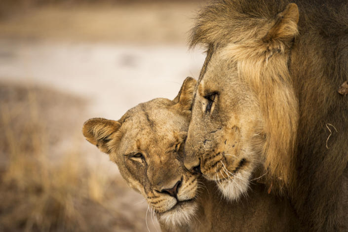 Lions snuggle on the plains of the Liuwa Plain National Park, Zambia. (Photo: Will Burrard-Lucas/Caters News)