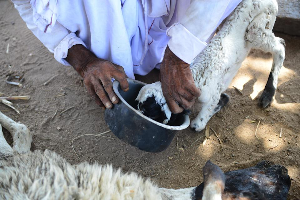 Indian migrant shepherd Ranabhai, from Vaundh village of Kutch, feeds a recently orphaned sheep at Ranagadh village of Surendranagar district, some 85 kms. from Ahmedabad on June 4, 2019. - Cities across northern India have been sweltering with temperatures above 47 Celsius (116.6 Fahrenheit). According to local veterinary Dr. SM Patel some 60 sheep have died due to extreme heat and deprivation of water. (Photo by SAM PANTHAKY / AFP) (Photo credit should read SAM PANTHAKY/AFP/Getty Images)